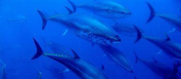 C84 | Balfegó: atún rojo premium trazado desde el mar al plato